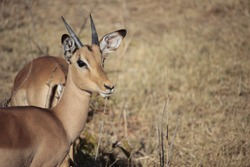 Impala in the African savanna