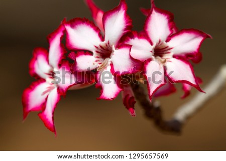 Impala Lily (Adenium multiflorum), Kruger National Park, South Africa.
