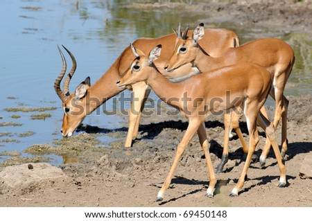 impala male bleating or calling