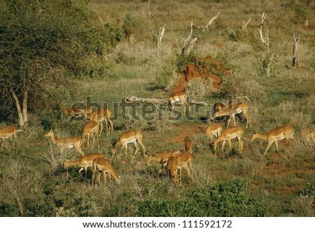 Impala, Nairobi National Park, Kenya - stock photo