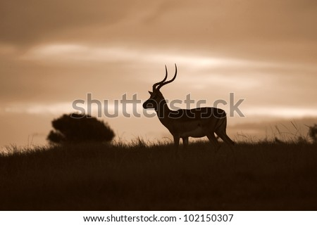 Impala ram in this silhouette monochrome photo from eastern cape,south africa