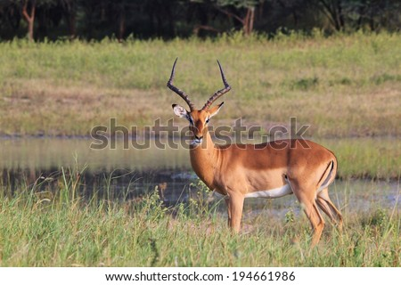 Impala - Wildlife Background from Africa - Beautiful Animals from Nature