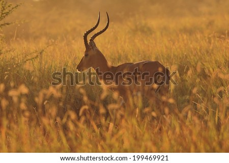 Impala - Wildlife Background from Africa - Golden Pride