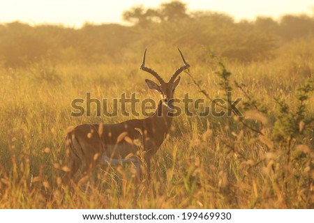 Impala - Wildlife Background from Africa - Pride, Power and Nature Pristine