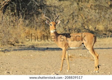 Impala - Wildlife Background from Africa - Ram Beauty