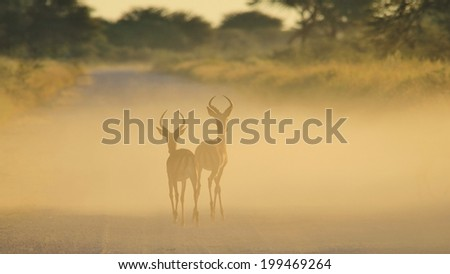 Impala - Wildlife Background from Africa - Stare of Golden Dust and Ram brothers