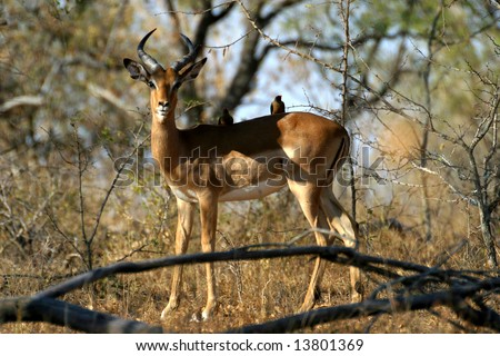 Impala with Oxpecker on its back in the Kruger National Park (South Africa)