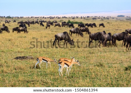 Impalas and wildebeast in the Masai Mara National Park #1504861394