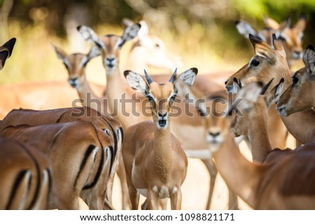 Impalas herd in Liwonde N.P. - Malawi