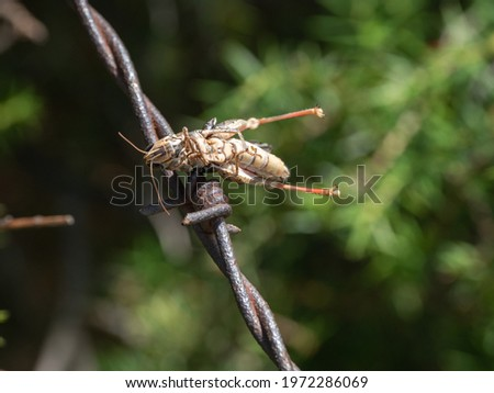 Impaled Orthoptera a Red-backed Shrike larder  Сток-фото ©