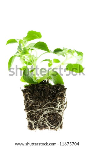 Impatiens baby plant with roots on white.