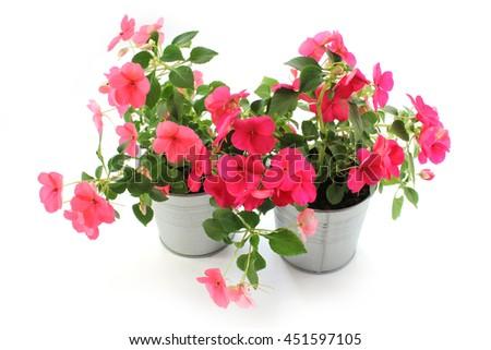 Impatiens balsamina, two flowerpot, white background #451597105