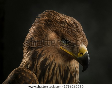 Imperial eagle portrait. Close-up of an imperial eagle muzzle.