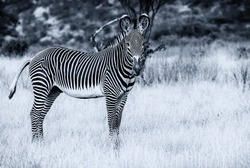 Imperial Grevy's Grévy's zebra, side view of black and white striped animal, head facing forward in Samburu National Reserve, Kenya, Africa. Monochrome of threatened species in natural environment