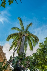 Imperial palm tree seen from below at the Bahia Medical School in Salvador, Brazil