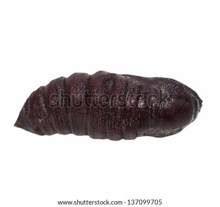 Imperial Pine Moth Chrysalis larva (Eacles imperialis), chrysalis isolated on white background