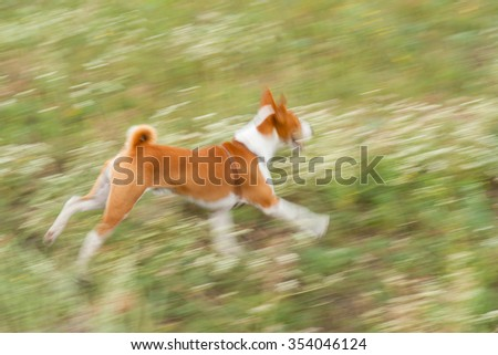 Impetuous basenji dog galloping outdoors #354046124