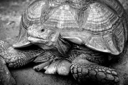 Impressed Tortoise looking camera in black and white color
