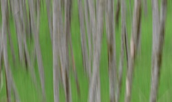 Impressionist style, intentionally blurred picture of a forest, gray tree trunks with green grassy background.