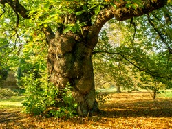 Impressive and beautiful ancient sweet chestnut tree in autumn sunlight in the Yorkshire Arboretum, North Yorkshire, England
