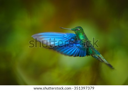 Impressive big hummingbird Great Sapphirewing Pterophanes cyanopterus male in flight with outstretched blue wings in its typical environment in Ecuadorian cloud forest. Green background. #351397379