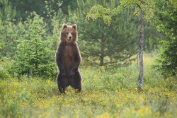 Impressive brown bear, ursus arctos, standing upright on a glade in summer forest. Majestic animal looking on two legs with copy space. Wild animal watching on woodland.