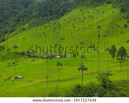 Photo of  Impressive Colombian Valle de Cocora / Cocora Valley in National Park Los Nevados with its hundreds of Quindio wax palm trees reaching heights of up to 60 meters