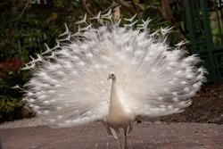 Impressive Displaying male white peacock Pavo cristatus.