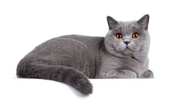 Impressive light blue young adult British Shorthair female cat, laying down side ways. Looking with cute head tilt and bright orange eyes straight to camera. Isolated on white background.