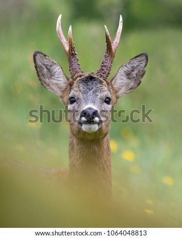 Impressive portrait of a wild roe deer with big antlers taken just a few meters from the photographer. Spain. #1064048813