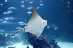 Impressive stingray fish showing its mouth arranged near its stomach of the genus Rhinoptera commonly known as the cownose rays of the family Rhinopteridae.
