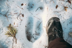 Imprint Of An Elk Trail On Snow. Comparison With Size Of A Person's Feet. Moose Trail On Forest Ground In Winter Season. Belarus Or European Part Of Russia