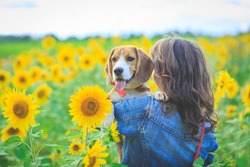 in a field of sunflowers in the summer a girl holds a Beagle dog in her arms