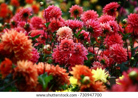 In a flower bed a considerable quantity of flowers dahlias with petals in various tones of red color./Dahlias in red tones.