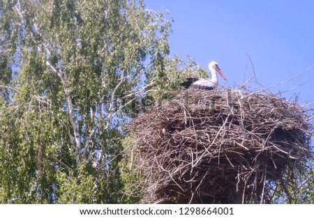 In a large nest of twigs near the birch tree sits stork.