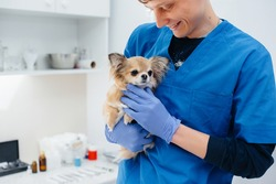 In a modern veterinary clinic, a thoroughbred Chihuahua is examined and treated on the table. Veterinary clinic