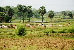 in a village in west bengal , india , cow are grazing in green field