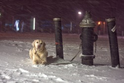 In a winter storm, a dog tied to a fire hydrant waits for her owner inside the store