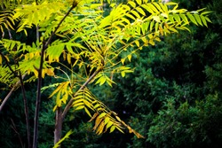 In autumn, green Toon Leaves against a black background