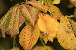 In autumn the deciduous trees of the Northern Temperate Zone start a period of senescence. This is known as the Fall as leaves loose their nutrients and chlorophyll and are shed.