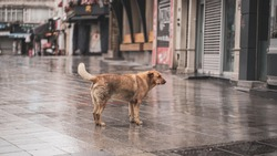 in corona days the streets remained for animals, dog walking in rainy weather