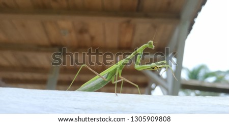 """In English, this insect is commonly called praying mantis because of its attitude which often looks like it is praying. The word mantis comes from the Greek """"Mantes"""" which means """"prophet"""" #1305909808"""