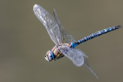 In Flight  migrant hawker ( Aeshna mixta) is one of the smaller species of hawker dragonflies