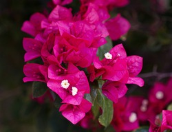 In focus, pink bougainville flowers, with small white flowers in the center. In the background, other flowers, also pink, with leaves and branches. Expressing the perfection of nature.