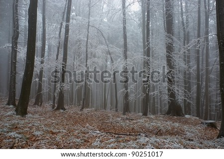 In frosty pine - wood with fog in backcloth