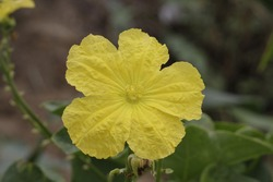 InHindi-speakingNorth Indianstates, it is calledtorai flower (तोरई), and cooked as vegetable. But in central/Western India, specially in Madhya Pradesh, it is calledgilki.Toraiis reserved for