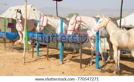 In Hindu weddings the groom customarily arrives riding a white horse, hence the prevalence of white horses at the Pushkar Camel Festival, Pushkar, Rajasthann, India. Сток-фото ©