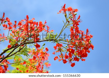 In many tropical parts of the world it is grown as an ornamental tree. It is also one of several trees known as Flame tree.