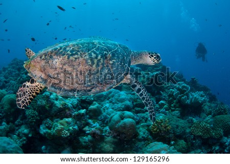 In Palau Hawksbill sea turtles (Eretmochelys imbricata) are still hunted seasonally.  This is a critically endangered species becoming more and more rare worldwide.