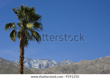 In Palm Springs, California, a palm tree waves in front of the snow crested San Jacinto mountains.